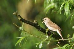 Τσίχλα Nightingale Στοκ Φωτογραφία