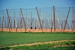 τσεχική δημοκρατία λυκίσκων καλλιέργειας νότια Στοκ φωτογραφίες με δικαίωμα ελεύθερης χρήσης