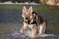 Τσεχοσλοβάκικο Wolfdog που ανακτά μια σφαίρα από το νερό Στοκ Εικόνες