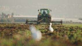 Τσικνιάδες βοοειδών σε έναν τομέα με την εστίαση αλλαγής σε μια καλλιέργεια τρακτέρ απόθεμα βίντεο