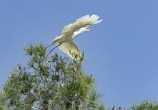 Τσικνιάς βοοειδών που απογειώνεται από ένα δέντρο πεύκων στοκ εικόνα με δικαίωμα ελεύθερης χρήσης