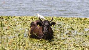 Τσικνιάς βοοειδών στα βοοειδή Στοκ Εικόνα