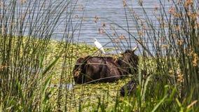 Τσικνιάς βοοειδών στα βοοειδή Στοκ Εικόνες