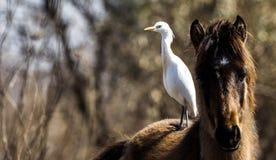 Τσικνιάς βοοειδών στο άλογο Στοκ Εικόνες
