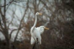 Τσικνιάς επάνω στις άγρια περιοχές Στοκ εικόνες με δικαίωμα ελεύθερης χρήσης