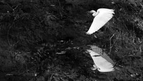 τσικνιάς μεγάλος Στοκ φωτογραφίες με δικαίωμα ελεύθερης χρήσης