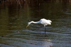 τσικνιάς πουλιών μεγάλο&sigm Στοκ φωτογραφίες με δικαίωμα ελεύθερης χρήσης