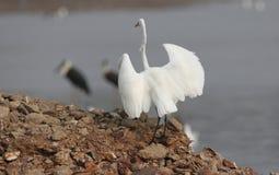 τσικνιάς πουλιών μεγάλο&sigm Στοκ Εικόνες