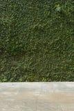 Τσιμεντένιο πάτωμα και πράσινος τοίχος φρακτών πετρών κισσών φύλλων καλυμμένος φυτό Στοκ Φωτογραφία