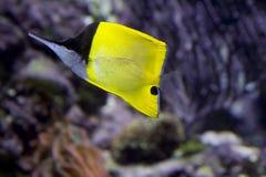 Τσιμπιδάκια ψάρι-πεταλούδων Στοκ Φωτογραφία