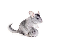 Τσιντσιλά με τα μωρά στο λευκό στοκ εικόνες