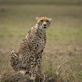 Τσιτάχ που κάθεται σε έναν μικρό λόφο στο Masai Mara στοκ φωτογραφία με δικαίωμα ελεύθερης χρήσης