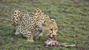 Τσιτάχ που τρώει ένα μωρό gazelle στοκ εικόνες