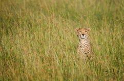 Τσιτάχ σε Serengetii Στοκ Εικόνα
