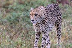 Τσιτάχ στο εθνικό πάρκο Kruger Στοκ Εικόνες