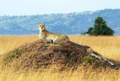 Τσιτάχ της Mara Masai Στοκ φωτογραφία με δικαίωμα ελεύθερης χρήσης