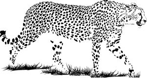 Τσιτάχ Στοκ εικόνα με δικαίωμα ελεύθερης χρήσης