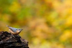τσοπανάκος στοκ φωτογραφία με δικαίωμα ελεύθερης χρήσης