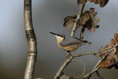 Τσοπανάκος, europaea Sitta Στοκ φωτογραφίες με δικαίωμα ελεύθερης χρήσης