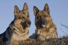 τσοπανόσκυλα πορτρέτου της Γερμανίας Στοκ φωτογραφίες με δικαίωμα ελεύθερης χρήσης