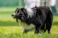 Τσοπανόσκυλο κόλλεϊ συνόρων που κοιτάζει επίμονα σε κάτι - ίσως πρόβατα στη χλόη στοκ φωτογραφία με δικαίωμα ελεύθερης χρήσης
