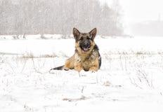 Τσοπανόσκυλο σε έναν περίπατο στοκ φωτογραφία με δικαίωμα ελεύθερης χρήσης