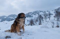 Τσοπανόσκυλο, σκυλί ποιμένων το χειμώνα στοκ φωτογραφίες με δικαίωμα ελεύθερης χρήσης