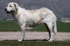 τσοπανόσκυλο maremma Στοκ Εικόνα