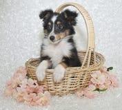 τσοπανόσκυλο sheltie Shetland κουτ&alph στοκ φωτογραφία