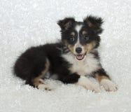 τσοπανόσκυλο sheltie Shetland κουτ&alph στοκ εικόνες με δικαίωμα ελεύθερης χρήσης
