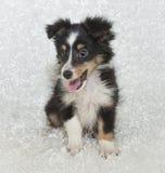 τσοπανόσκυλο sheltie Shetland κουτ&alph στοκ εικόνα με δικαίωμα ελεύθερης χρήσης