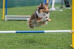 Τσοπανόσκυλο Sheltie Shetland που πηδά πέρα από το εμπόδιο στην ευκινησία compe στοκ φωτογραφίες