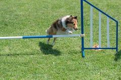 Τσοπανόσκυλο Sheltie Shetland που πηδά πέρα από το εμπόδιο στην ευκινησία compe στοκ εικόνες
