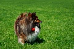 Τσοπανόσκυλο Sheltie Shetland φυλής σκυλιών στοκ εικόνες με δικαίωμα ελεύθερης χρήσης