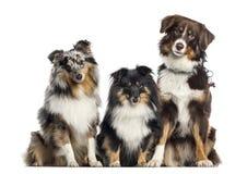 Τσοπανόσκυλο Shetland και αυστραλιανός ποιμένας, σκυλιά σε μια σειρά, άσπρη στοκ φωτογραφίες με δικαίωμα ελεύθερης χρήσης