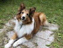 Τσοπανόσκυλο Shetland που ξαπλώνει στον κήπο που ανατρέχει adoringly στοκ φωτογραφίες