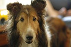 τσοπανόσκυλο Shetland στοκ φωτογραφίες με δικαίωμα ελεύθερης χρήσης
