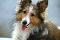 τσοπανόσκυλο Shetland Στοκ εικόνα με δικαίωμα ελεύθερης χρήσης