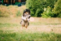 Τσοπανόσκυλο Shetland, Sheltie, κόλλεϊ Παιχνίδι που πηδά με το πιάτο υπαίθριο στοκ φωτογραφία