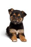 Τσοπανόσκυλο αναμιγνύω-φυλής κουταβιών με το pooch στοκ εικόνες