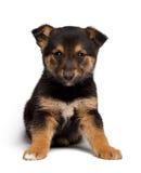 Τσοπανόσκυλο αναμιγνύω-φυλής κουταβιών με το pooch στοκ φωτογραφίες