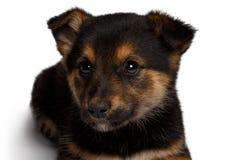 Τσοπανόσκυλο αναμιγνύω-φυλής κουταβιών με το pooch στοκ φωτογραφία με δικαίωμα ελεύθερης χρήσης