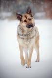 Τσοπανόσκυλο στον περίπατο στοκ φωτογραφία