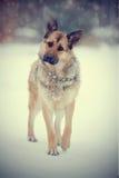 Τσοπανόσκυλο στον περίπατο στοκ εικόνες με δικαίωμα ελεύθερης χρήσης