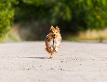 Τσοπανόσκυλο τρεξίματος Shetland με τη σφαίρα Στοκ φωτογραφία με δικαίωμα ελεύθερης χρήσης