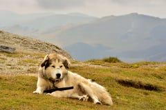 τσοπανόσκυλο Στοκ Φωτογραφίες