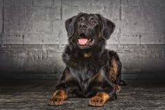 Τσοπανόσκυλο Appenzell Στοκ Φωτογραφία