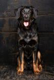 Τσοπανόσκυλο Appenzell Στοκ εικόνες με δικαίωμα ελεύθερης χρήσης