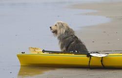 Τσοπανόσκυλο Longing Στοκ εικόνα με δικαίωμα ελεύθερης χρήσης