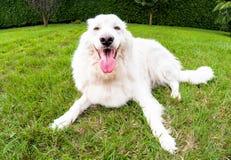 Τσοπανόσκυλο Maremma στοκ εικόνες